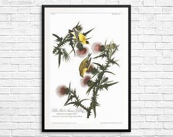 Goldfinch, American Goldfinch, Yellow Bird, goldfinches, goldfinch art, goldfinch posters, Birds of America, Audubon Goldfinch, vintage art