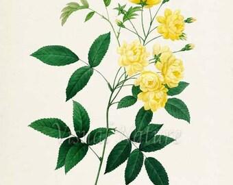 Yellow Rose Flower Art Print, Rose Botanical Art Print, Wall Art, Flower Print, Floral, Redoute, yellow,Rosier de Bancks Var A fleurs jaunes