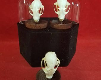One Cynopterus Bat Skull Glass Dome Display-collectible-macabre-witch-dracula