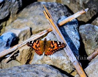 Painted Lady Butterfly -  Fine Art Photograph - Home Decor
