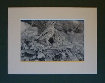 1950s Natural History Print of a Thrush at Nest - Woodland Bird Decor - Bird Nest Art - Nature Photography - Black and White Art - Bird Art