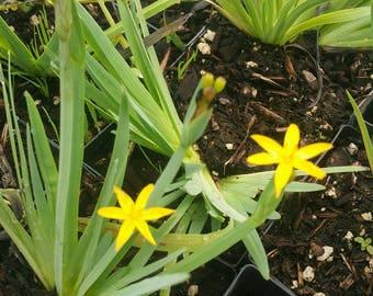 Sisyrinchium convolutum / Yellow Eyed Grass