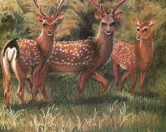 "Sika Deer ""Buy one, choose another free"" deer, wildlife, animal prints, bird prints, wildlife prints, animals, birds"