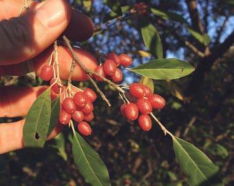 100 Elaeagnus umbellata Seeds, Autumn Olive Seeds