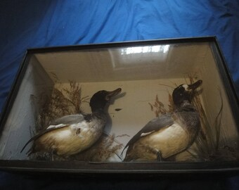 Cased Taxidermy of a pair of British Ducks in fair condition