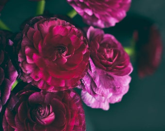 Lovely Purple Ranunculus 2, botanical art print, flower photography, bedroom decor, living room wall art, fine art photography, black purple