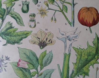 1890s Color Botanical Print  Tomato, Jimsonweed  & others FUNFSTUCK