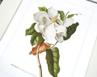 Magnolia Flower Botanical Illustration Archival Print on Watercolor Paper