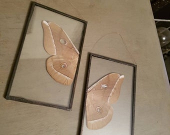 Taxidermy moth wings in glass