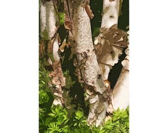 Birch Tree 1 - nature photography