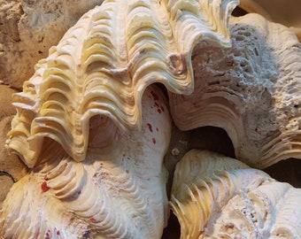"Ruffled Clams Shells 6-7"" Seashells Halves Half DIY Ring Bearer Pillow Soap Jewelry Candle Holder Dish Collectibles Beach Wedding"