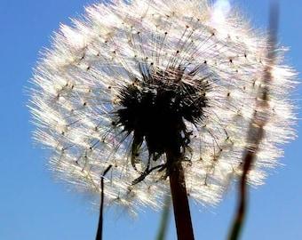 Dandelion Seeds ACEO Fine Art Photograph