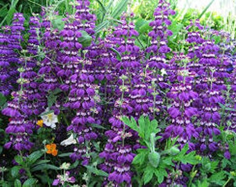 Chinese Houses Seeds, Collinsia Heterophylla, Wildflower, Bees Love Collinsia, Reseeds Itself, Annual