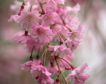 Flower photography,Pink Weeping Cherry Tree Blossoms,Pink Spring Flowering Tree,Romantic Garden Art,Dreamy Floral Print,Fine Art Photography