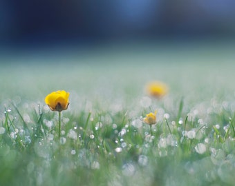 Good Morning Buttercup - Limited Edition Fine Art Photographic Print - Bright Yellow Buttercup and Dewy Grass on a Fresh Spring Morning