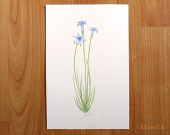 Wild flower watercolor. Original botanical illustration of Aphyllanthes monspeliensis. Size: 16x24 cm (6.3x9.4 inches)