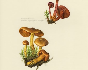 Vintage lithograph of cinnamon webcap and bloodred webcap from 1963
