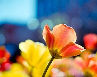 spring tulip photography / flower, vibrant, orange, salmon, indigo, blue, yellow, aquamarine, colorful / shine / 8x10 fine art photograph