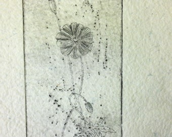 Poppy, scientific illustration in intaglio engraving