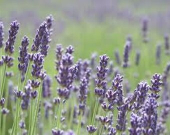 Lavender Seeds, Vera, True Lavender, Heirloom, Flower, Grow your own, 20 Seeds