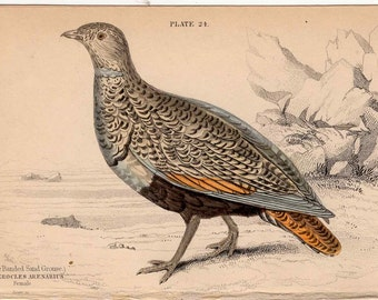 1836 banded sand grouse female original antique hand colored jardine game bird engraving - pterocles arenarius