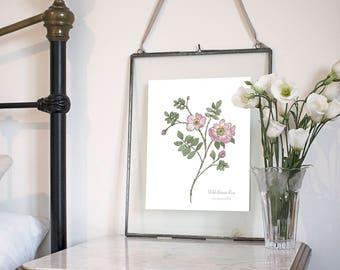 Wild Burnet Rose, Botanical Wildflower Watercolour, Art Print
