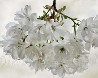 Spring Blossom Photo, White Spring Flower, Soft Gentle Floral Print, Dreamy Translucent Petals, Garden Flowering Tree, Spring Blossoms Print