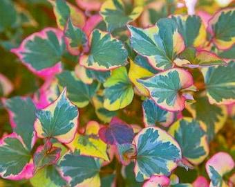 Houttuynia cordata 'Chameleon' Plant