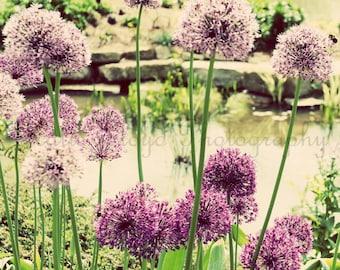 Flower Photography Print - Purple Alliums - Floral Decor - Floral Art - Fine Art Photography - Pom Pom Flower Decor