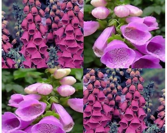 PURPLE FOXGLOVE Flower Seeds - Digitalis Purpurea Seed - FOXGLOVES ~ Full Sun Or Shade - Zone 3-9, Choose From 8,000 or 100,000