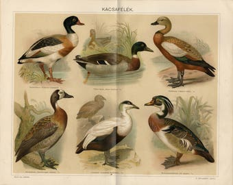 Antique lithograph of ducks from 1895