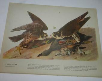 Duck Hawk / Parula Warbler Bird Prints - 1 page from 1946 John James Audubon Book, The Birds of America - Frameable Audubon print      31-49