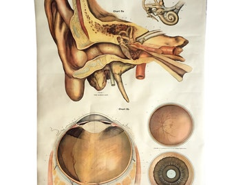 1918 American Frohse Nystrom eye/ear anatomical chart