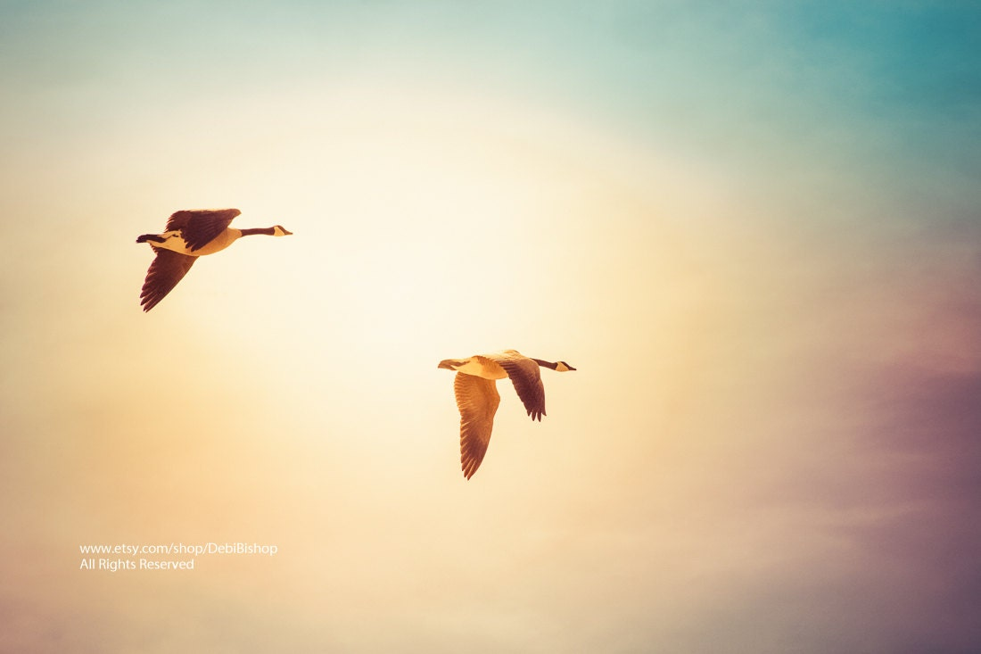Flying Home Two Canadian Geese Flying A Dreamy Sunshine Sky