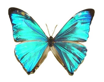 Mother's Day Gift Morpho Zephyritis Real Rare Iridescent Blue Morpho Framed Butterfly 935