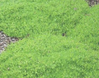 100 HEIRLOOM IRISH MOSS  Sagina Subulata Seeds
