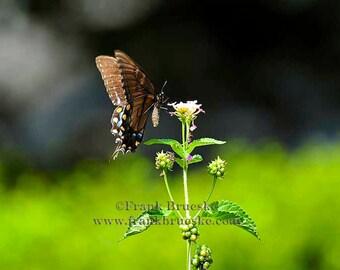 Fine Art Photography; Butterfly, Butterflies, Fine Art Prints, Summer Scenes, Butterfly Art,  Butterfly. Custom Print, Free Shipping