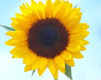 15 Smiley Sunflower Seeds Helianthus Annus Beautiful Garden Flowers TG1