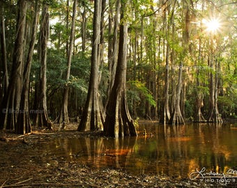 "Cypress Tree Photo | ""Cypress Forest View"" 
