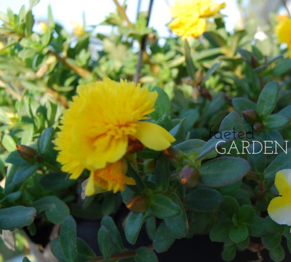 Fairy Tales Sleeping Beauty Purslane U2013 Yellow Double Flower Portulaca From  FaetedGarden On Etsy Studio