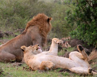 Wildlife Photography - 'Laid Back' Kenya, Africa. Download and print my photograph for your own use.