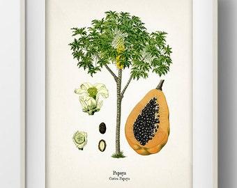 Vintage Papaya Fruit Print - KO-07 - Fine art print of a vintage natural history antique botanical illustration