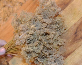 Queen Annes Lace, Dried Queen Annes Lace