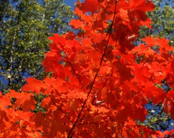 Photo magnet - brilliant red maple tree