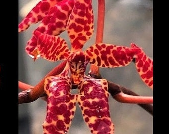 Renanthera Wynn McPheeters - Live Blooming Size Compact Vanda Orchid Plant