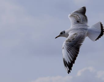 Young herring gull in flight. A6 greeting card