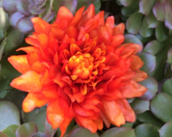 Extra Large Orange Dahlia