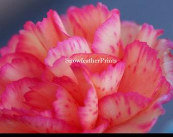 Pink Carnation - Ships Free