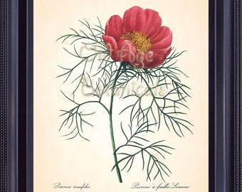 Redoute Botanical 8x10 Art Print French Antique Plate 103 Large Red PEONY Vintage Flower Floral Wall Hanging Home Decor Illustration BF1326