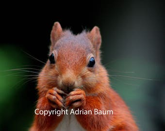 Photographic print - Red Squirrel